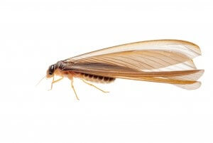 Winged termite - Alate