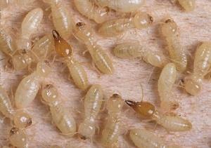 formosan-termites